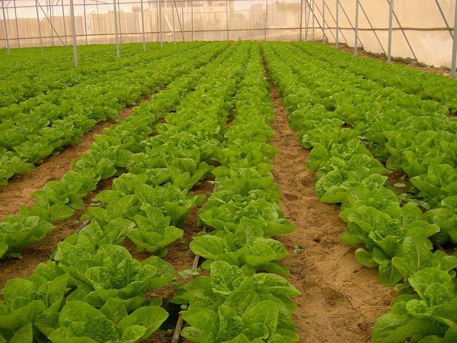 Salads from Gush katif