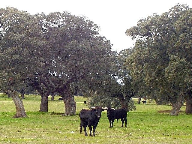 Archivo:Salamanca Dehesa Toros de Lidia (cropped).jpg - Wikipedia ...