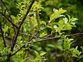 Salix ¿ calyculata - wallichiana ? (7837962998).jpg
