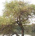 Salix acmophilla.jpg