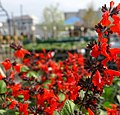 Salvia Hummingbird Forest Fire 0zz.jpg