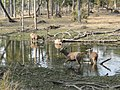 Sambar deers herd.jpg