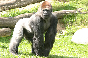 English: Samson, alpha male (leader) gorilla i...