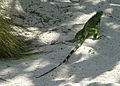 Sand Crawler - Iguana (2897725440).jpg