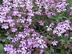 Saponaria ocymoides1JUSA.jpg