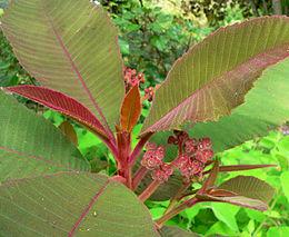 Saurauia madrensis 2