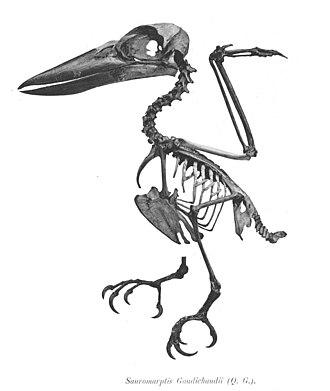 Rufous-bellied kookaburra - Skeleton