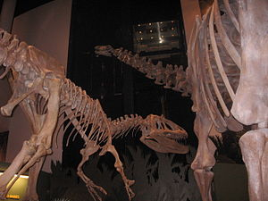 Saurophaganax - Mounted skeleton posed attacking an Apatosaurus, Sam Noble Oklahoma Museum of Natural History