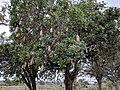 Sausage tree at Skukuza.jpg