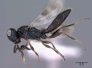 <i>Scelio</i> genus of insects