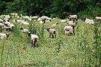 Schafe in Kirchhain.jpg