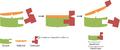 Schema der Arbeitsweise eines Coenzyms.png