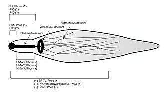 Mycoplasma pneumoniae - Schematic of the phosphorylated proteins in the attachment organelle of Mycoplasma pneumoniae