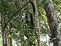 Schimpansen im Nationalpark Tai.jpg
