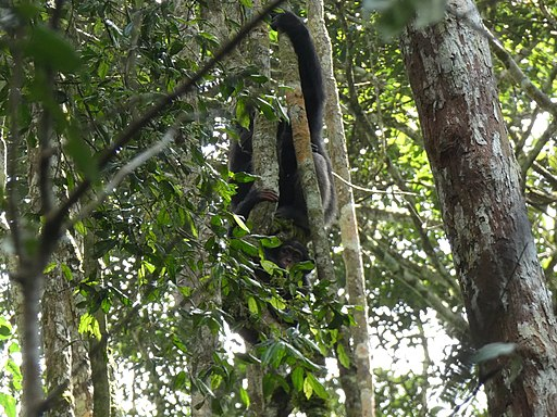 Schimpansen im Nationalpark Tai
