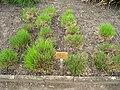 Schizachyrium scoparium - Berlin Botanical Garden - IMG 8590.JPG