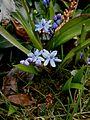 Scilla bifolia closeup.jpg