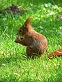 Sciurus vulgaris May 2006.jpg