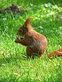 Sciurus vulgaris May 2006.jpg