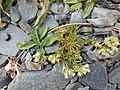 Scleranthus perennis plant (04).jpg
