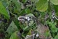 Sclerotinia sclerotiorum at Phaseolus vulgaris, sclerotiënrot stamsperzieboon (04).jpg