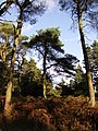 Scots Pine trees, Longridge Fell - geograph.org.uk - 1541486.jpg