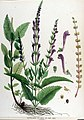 Scutellaria columnae — Flora Batava — Volume v17.jpg