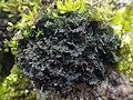 Scytinium gelatinosum 501548.jpg