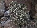 Sedum dasyphyllum Piazzo 03.jpg