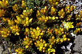 Sedum lanceolatum (NPS Yellowstone slide file 13309).jpg