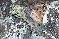 Sedum paradisum Shirtale Peak 013 (8345874091).jpg