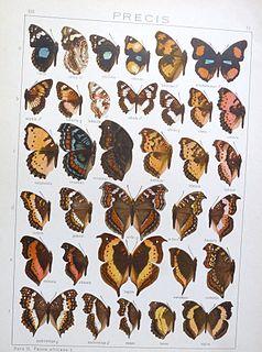 <i>Precis tugela</i> species of insect