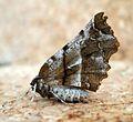 Selenia dentaria (Early Thorn ) - Flickr - gailhampshire.jpg