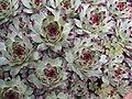 Sempervivum calcareum abl.jpg