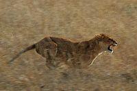 Lew może biec z prędkością 50-60 km/h