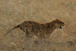 Lioness in a burst of speed while hunting in the Serengeti