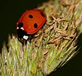 Seven-spotted Lady Beetle (Coccinella septempunctata) (35341164132).jpg