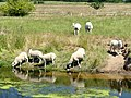 Sheep drinking from the River Idle (geograph 5837110).jpg