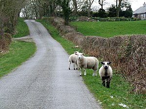 English: Sheep in the Road Three sheep out for...