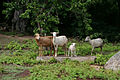 Sheep in virgin islands.jpg