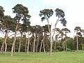 Shelter belt of Scots pines, Elveden - geograph.org.uk - 1288051.jpg