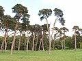 Shelter belt of Scots pines, Elveden - geograph.org.uk - 1288051.jpg