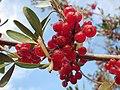Shepherdia argentea — Matt Lavin 012.jpg