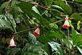 Sherbournia bignoniiflora02.jpg