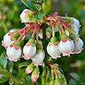 Shiny blueberry (Vaccinium myrsinites) (7154743184).jpg