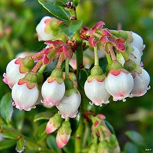 Vaccinium myrsinites - Image: Shiny blueberry (Vaccinium myrsinites) (7154743184)