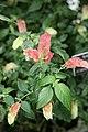 Shrimp Plant (Justicia brandigeana) Variegata Acanthus Family - Acanthaceae (3072507165).jpg