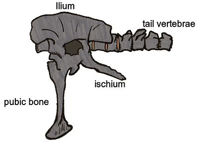 Siamotyrannus pelvis 01.JPG