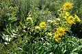 Silphium integrifolium kz4.jpg