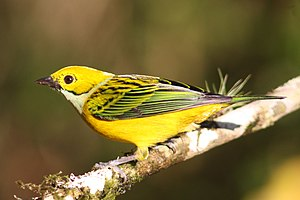 Silver-throated tanager - Image: Silver throated tanager (Tangara icterocephala)